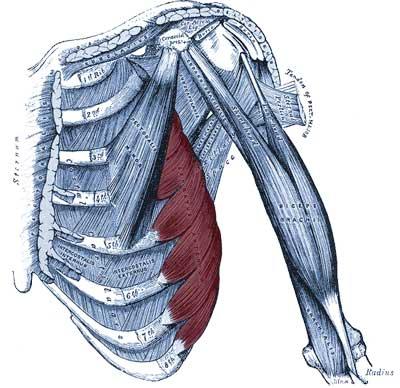 Il serrato anteriore evidenziato in rosso su un tronco umano con la muscolatura in evidenza